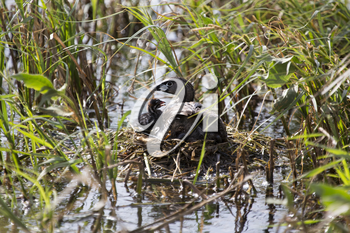 American Coot with baby in nest waterhen