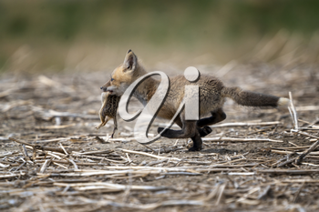 Young Fox Kit with Squirrell in mouth Canada