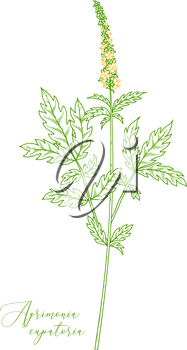Agrimony. Healing herb with green with pinnate leaves and tiny yellow flowers. Outline drawing.