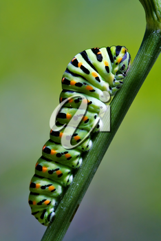 a Papilionidae in a green tree of wild fennel
