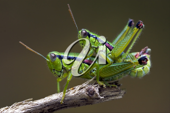 two grasshoper in love on a tree