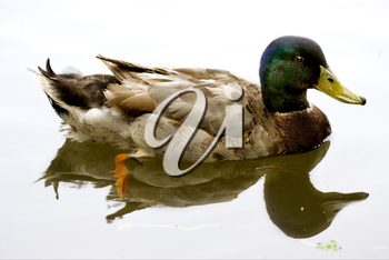 a reflex of the duck in  a lake