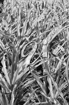 blur  in  philippines   a fild of grass colse up background abstract