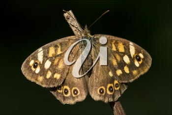 rear of wild brown grey orange butterfly  on a brown branch in the bush