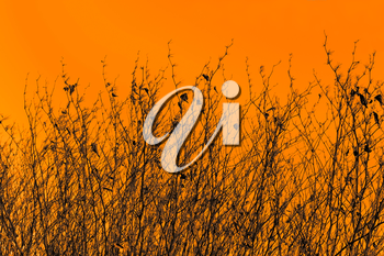 Silhouettes of dried high grassy plants against the orange sepia background