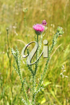 Thistle plant flowering on the meadow in summertime, close-up