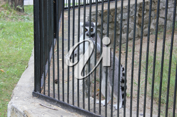 Cute lemur with stripes on tail 18685