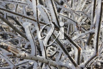 A snow-covered and frozen shrubbery 30404