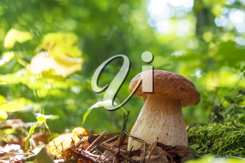 Cep mushroom in sunny wood. Natural organic plants and thick bolete growing in wood