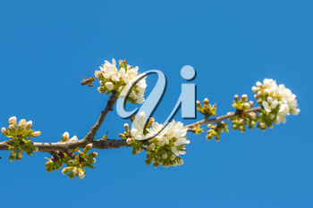 Bee flying and pollinates spring blossom and blue sky background. Blooming beautiful white flowers