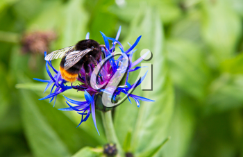 The Bumblebee sits on flower and eats a sweet nectar in the summer day