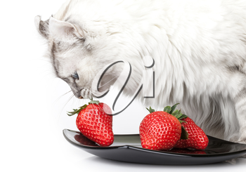 White cat carefully eats fresh strawberry from black plate