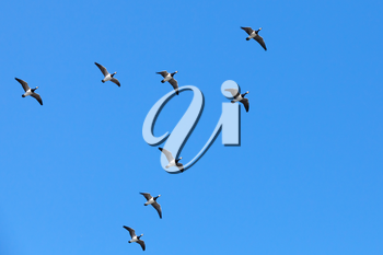 Group of Canadian geese flying in V shaped flock on blue sky background