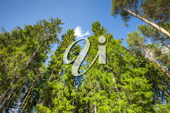 Pine and spruce over bright blue sky background. Coniferous European forest in sunny day