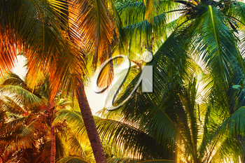 Coconut palm tree leaves over bright sky background. Colorful toned photo with lens glow filter effect