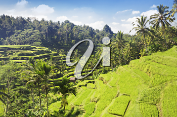 Beauty rice terrace with palms on Bali island