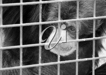 Sad lonely monkey in cage. In B/W