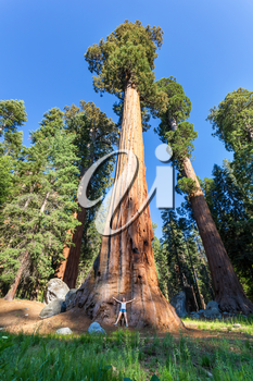 Giant Sequoia redwood trees with blue sky in Sequoia National Park, California USA