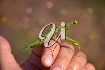 contemplative praying mantis sitting on a hand