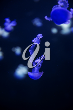 Glowing Blue Jellyfishes. Jellyfish or Jellies Are the Major Non-Polyp Form.