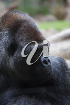 Portrait of big, black gorilla (male) at the zoo on brown-green background, outdoor (Loro Park -Tenerife, Canary islands, Spain).