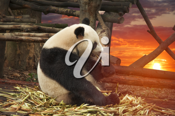 Big panda sitting in a bamboo forest
