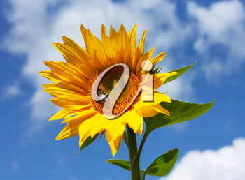 Beautiful bright yellow sunflower with bumblebee under the summer blue sky with clouds under bright sunlight with yellow petals and green leaves closeup view.