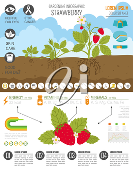 Gardening work, farming infographic. Strawberry. Graphic template. Flat style design. Vector illustration