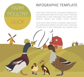 Poultry farming. Duck family isolated on white. Flat design. Vector illustration