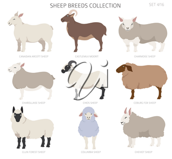 Sheep breeds collection 4. Farm animals set. Flat design. Vector illustration