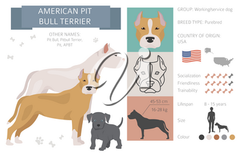 American pit bull terrier dogs set. Color varieties, different poses. Dogs infographic collection. Vector illustration
