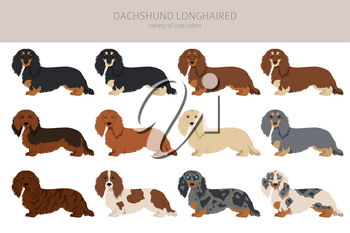 Dachshund long haired clipart. Different poses, coat colors set.  Vector illustration