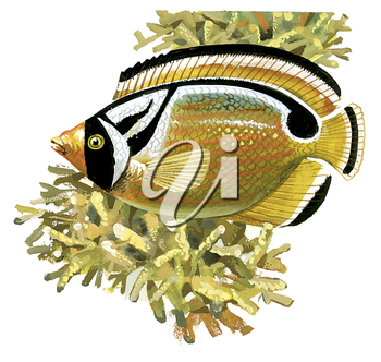 Royalty Free Clipart Image of a Raccoon Butterfly Fish