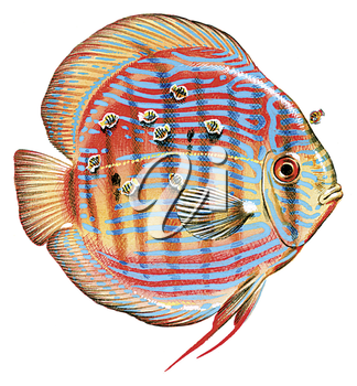 Royalty Free Clipart Image of a 3D Rose Discus Fish with young feeding off
