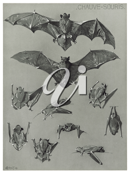 Royalty Free Clipart Image of a Big Brown Bat