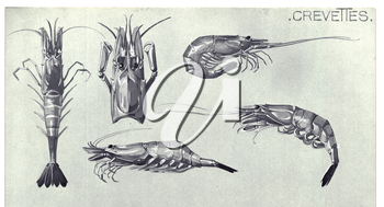 Royalty Free Clipart Image of a Shrimp