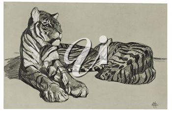 Royalty Free Clipart Image of Tigers Laying down