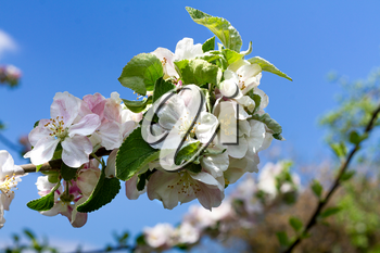 Blooming apple tree branch on a sunny day against a blue sky