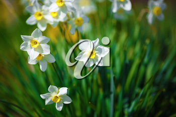 Blooming narcissus. Flowering white daffodils at springtime. Spring flowers. Shallow depth of field. Selective focus.