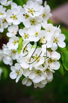 Blossoming tree branch with white flowers on bokeh green background. Vertical shot.