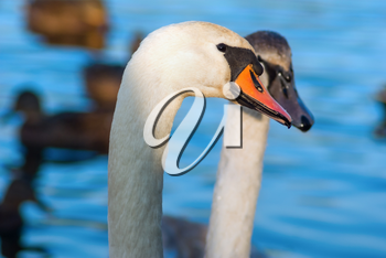 Pair of young white swans close-up. Shallow depth of field.