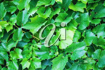 Bright green grape leaves. Nature background of grape leaves.