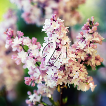 Branch of pink lilac flowers. Shallow depth of field. Selective focus.