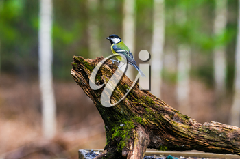 Blue Tit Bird sitting on a stump in a spring forest