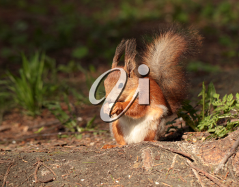 A squirrel eating the nut in the park