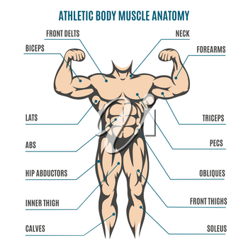 Athletic body man figure muscular anatomy. Vector illustration of human body muscles system