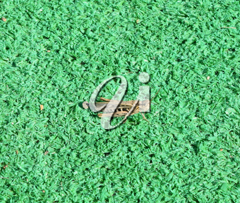 grasshopper on artificial grass. Orthoptera insects from the order of locusts.