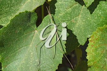 Green locusts, orthoptera insect. Ordinary locusts on grape leaves.