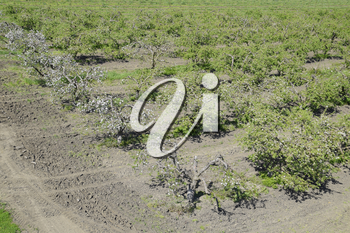 Blooming apple orchard. Adult trees bloom in the apple orchard. Fruit garden.