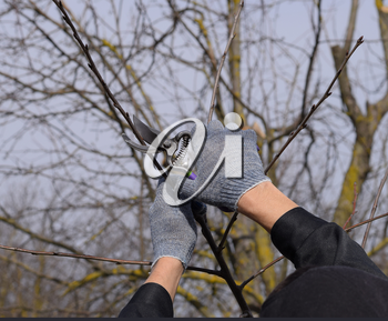 Trimming the tree with a cutter. Spring pruning of fruit trees.